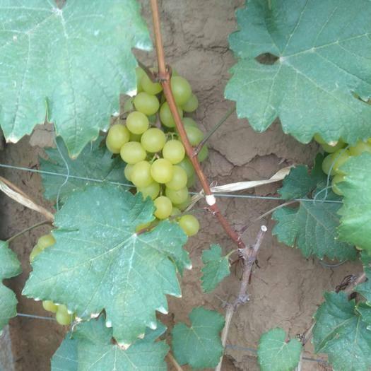 寿光市巨玫瑰葡萄 0.8-1斤 5%以下 1次果