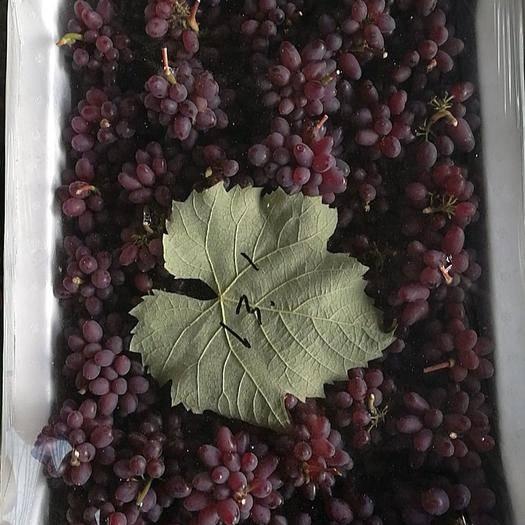 乐亭县茉莉香葡萄 0.4-0.6斤 5%以下 1次果