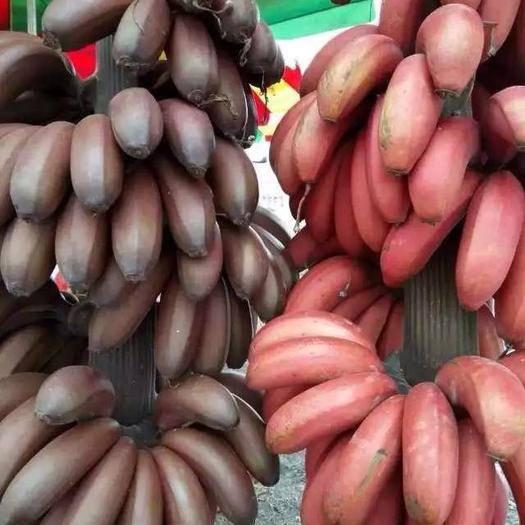 南宁红香蕉 南宁本地红美人蕉
