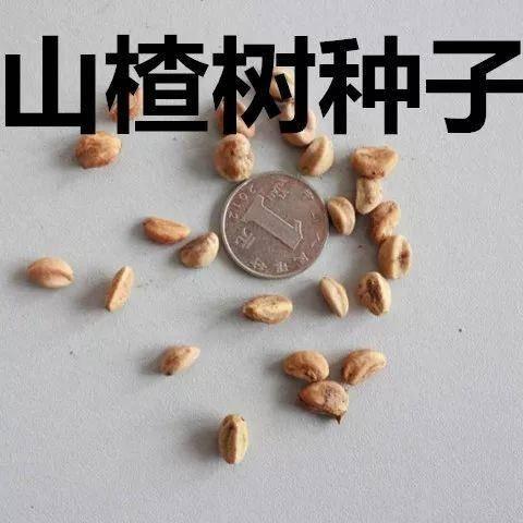 徐州新沂市山楂种子