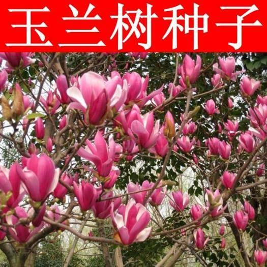 徐州新沂市玉兰种子