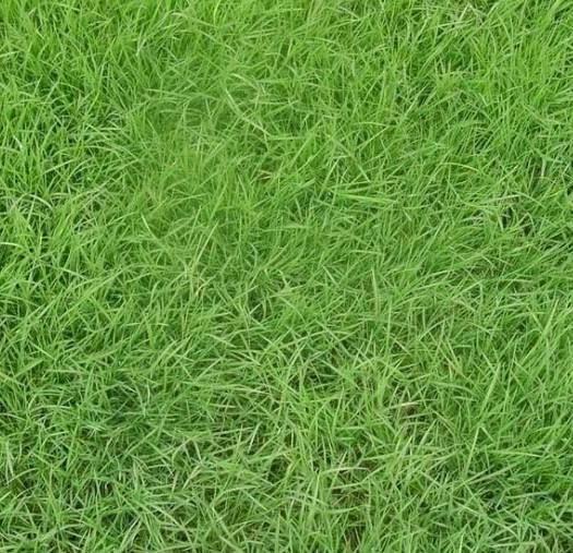 菏泽郓城县结缕草种子