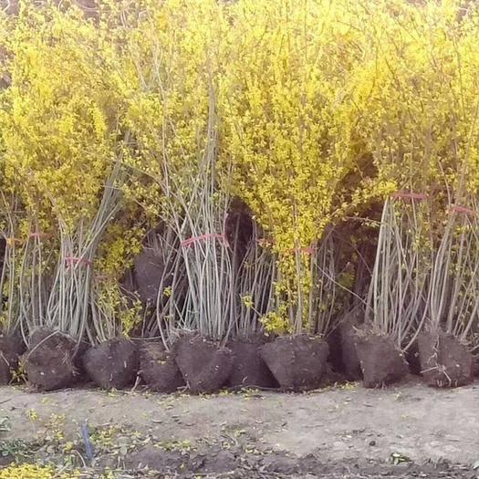 宿迁沭阳县北栾种子  各种绿化苗木黄杨,月季,杨树
