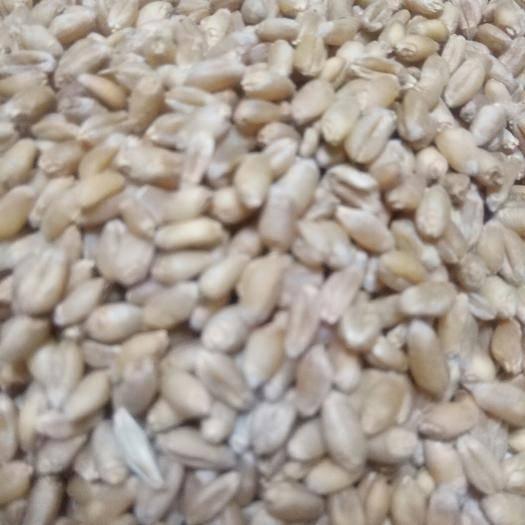 保定安國市 淮小麥 無硫 顆粒飽滿 藥用 袋裝