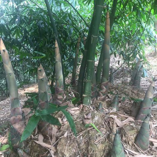 龙门县 麻竹甜竹种苗