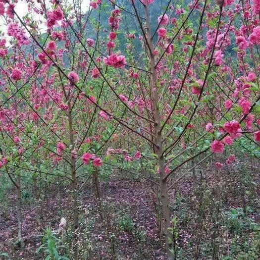 柳州柳北区满天红碧桃苗
