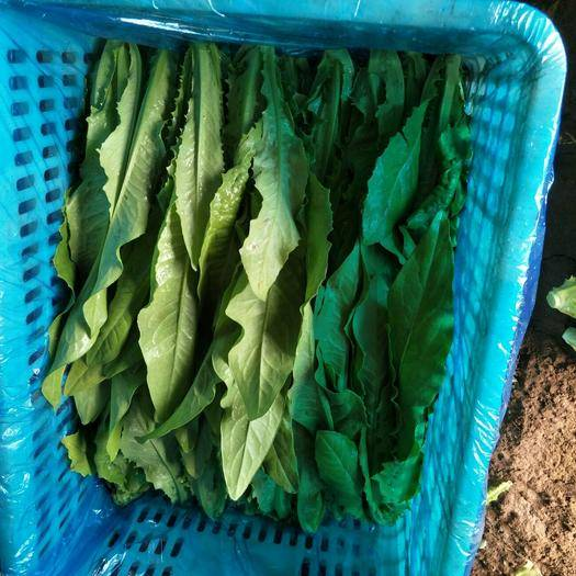 邯郸美冠油麦菜 20~25cm