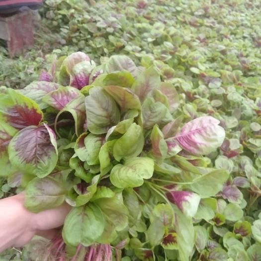 襄樊襄州区红苋菜  25-30cm 紫红 大棚蔬菜有机无公害保值保量