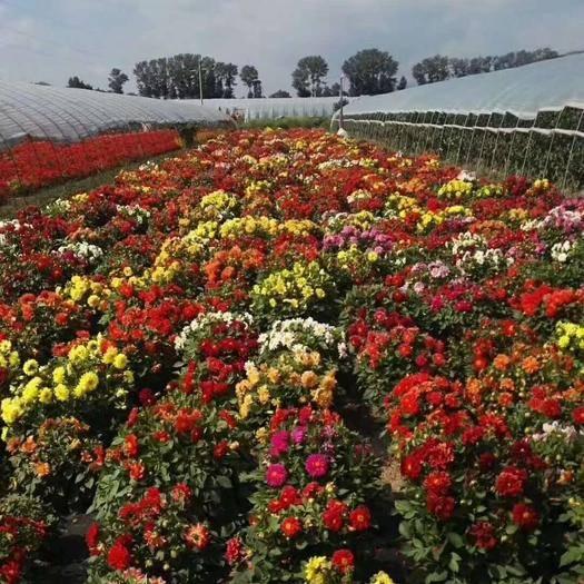赤峰元宝山区小丽花种子