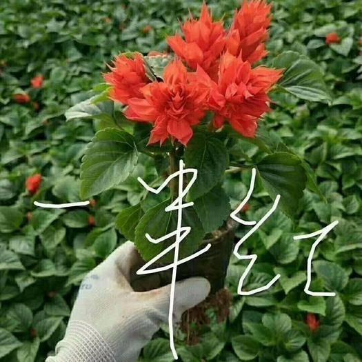 青州市橙紅雙色
