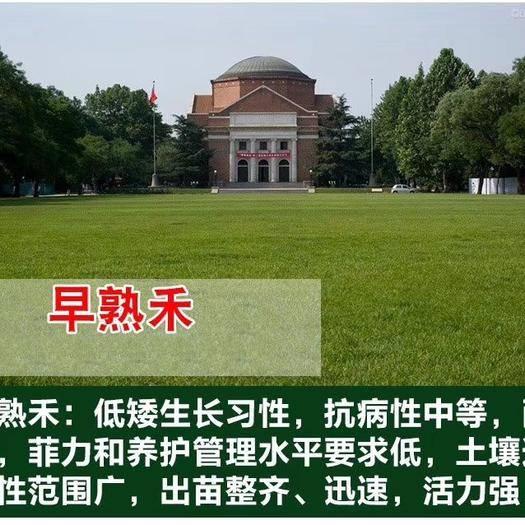 菏泽郓城县早熟禾种子 进口优质种子包发芽率送种植资料