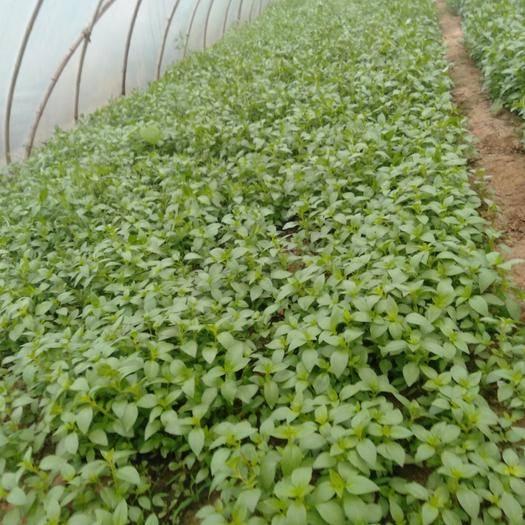 襄樊襄城区红苋菜 25-30cm 鲜绿
