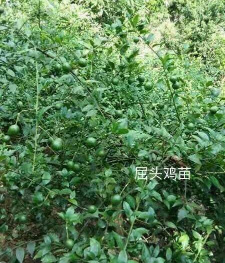 肇庆高要区屈头鸡种苗 现货供应,两年以上杯苗,量大更优惠