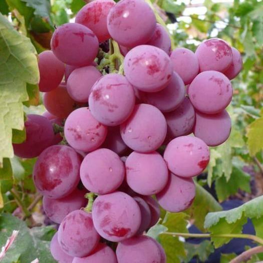 眉县绯红葡萄 0.6-0.8斤 5%以下 2次果