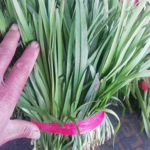 安阳滑县 宽叶浓绿韭菜大量上市