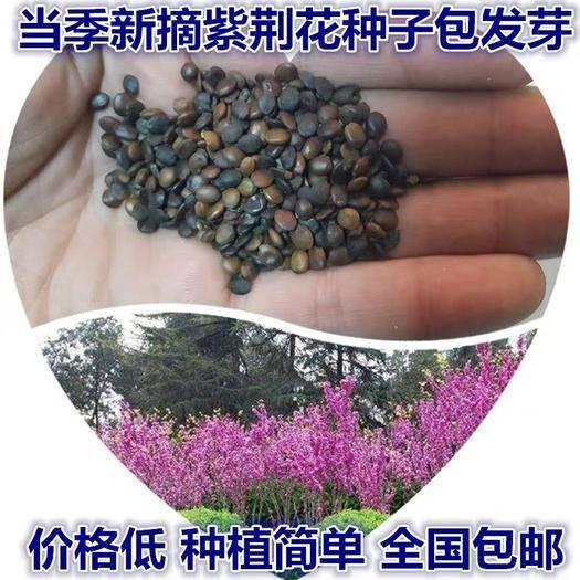 淮安淮安区紫荆花种子 巨花卉种子