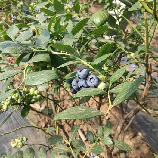 大連莊河市 藍莓