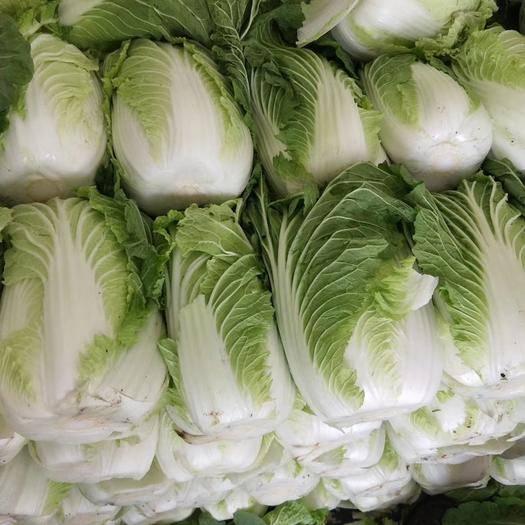 郯城县黄心大白菜 3~6斤 毛菜