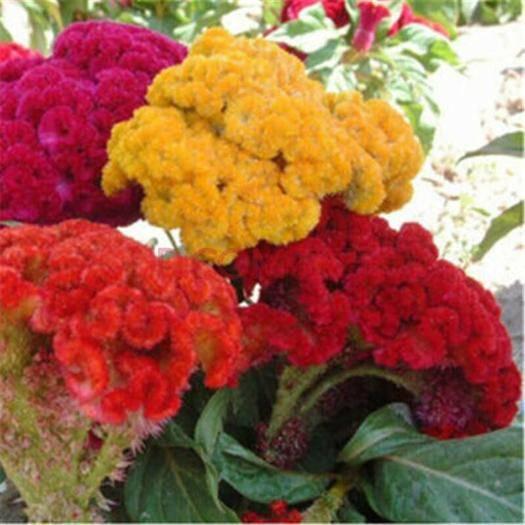 杭州萧山区鸡冠花种子 多年生花海种子发芽率98%以上