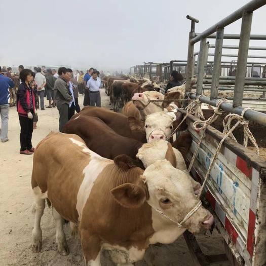 莱州市 精品公母牛
