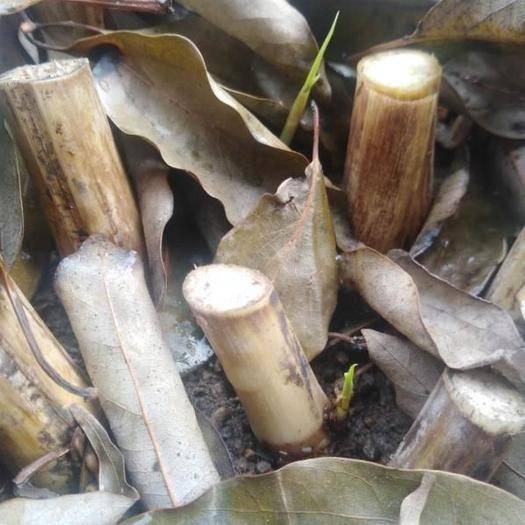 宜春樟树市甜象草 高产牧草,皇竹草,