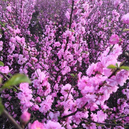 保定安国市紫荆花种子