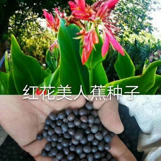 上海闵行美人蕉种子 红花
