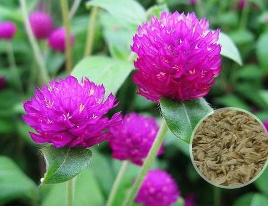 杭州萧山区千日红种子 千日紫  千日粉种子 花海种子