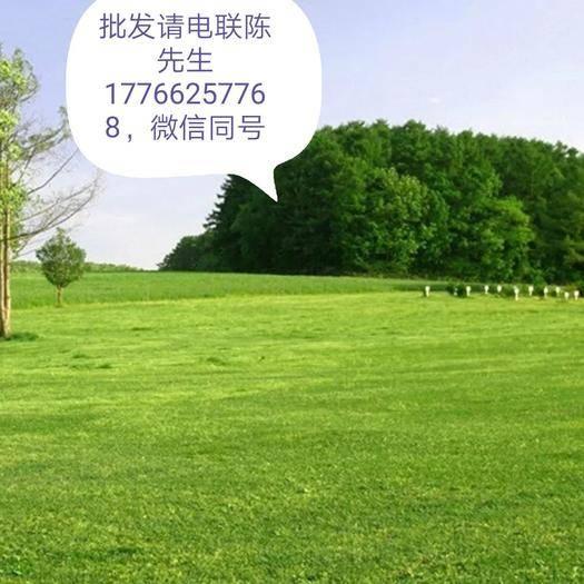 上海松江高羊茅种子 草坪种子四季常青免修剪庭院护坡草籽