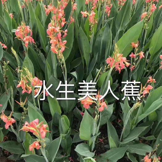 上海闵行美人蕉种子