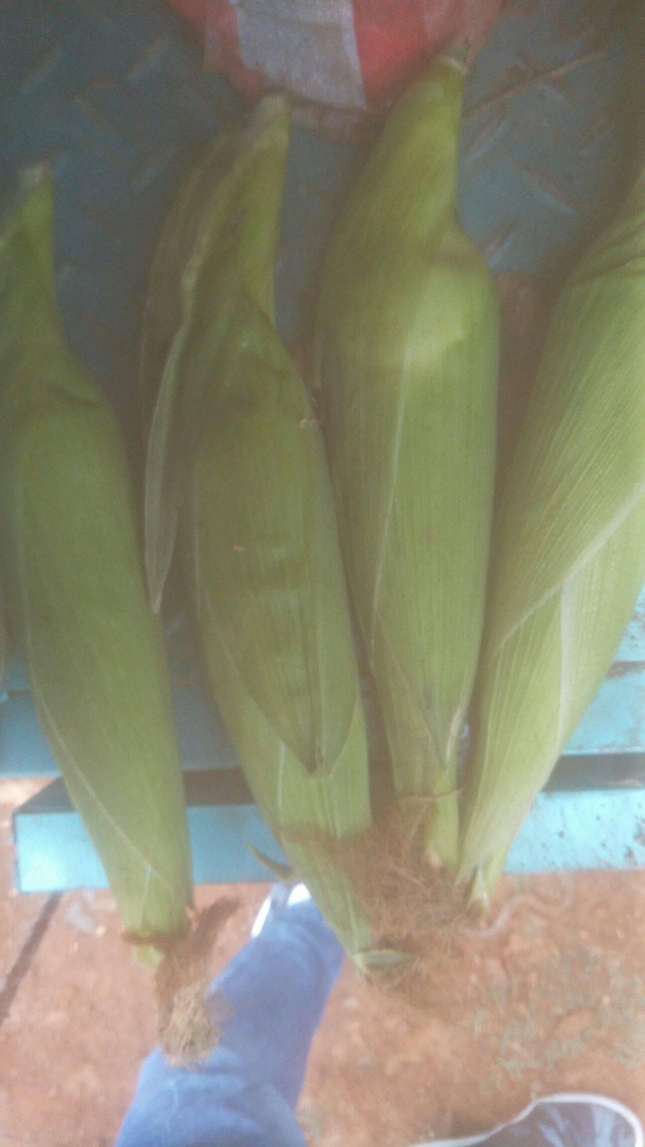 糯玉米 带壳 甜糯