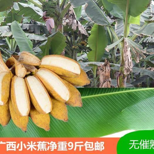 南宁 君懿农业新鲜水果酸甜小米蕉皇帝蕉非海南香蕉芭蕉