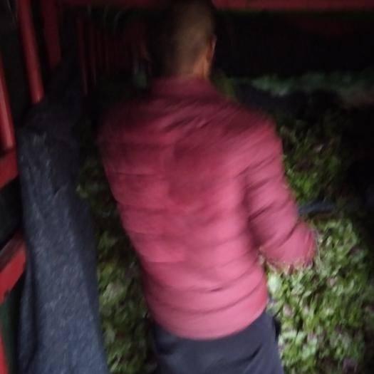 襄樊襄州区红苋菜 25-30cm 鲜绿