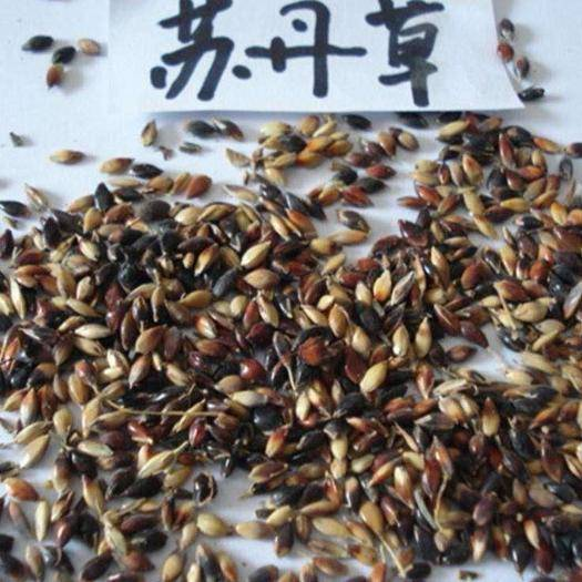 宜春樟树市苏丹草籽