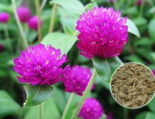 杭州萧山区千日红种子 千日紫 千日粉种子 发芽率高