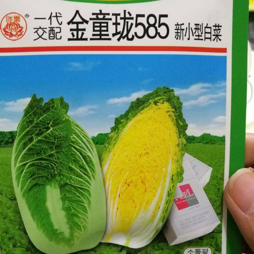 商丘夏邑县娃娃菜种子 金玲童585杂交进口娃娃菜