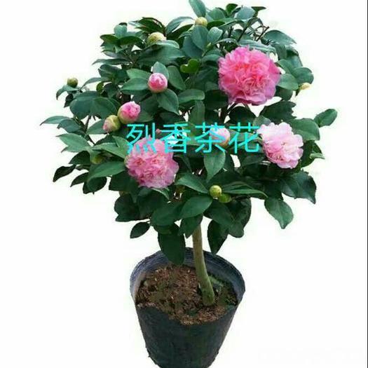 广州花都区茶花苗 香妃,又叫烈香茶花,开花香,粉色,大朵,不包邮