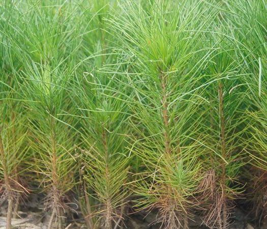 随县湿地松树苗 米径8公分湿地松供应