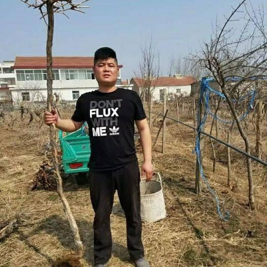 连云港海州区凌霄苗 地径3-4公分1.7-2.5米