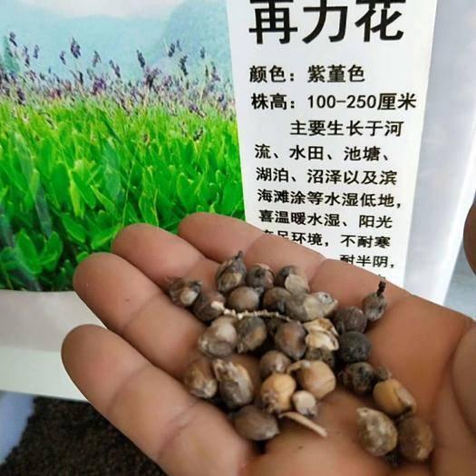 上海闵行再力花种子