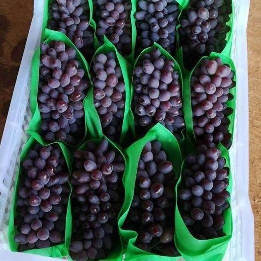 乐亭县茉莉香葡萄 1-1.5斤 5%以下 1次果