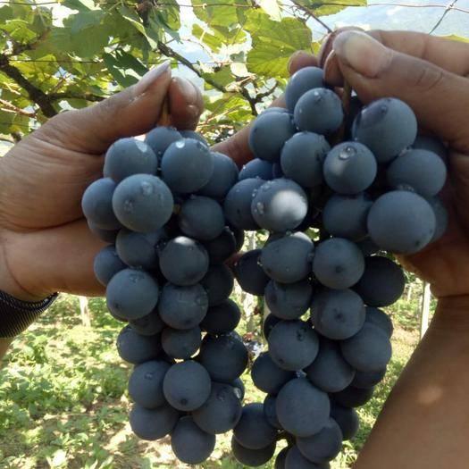 广州紫藤葡萄 1.5- 2斤 5%以下 1次果