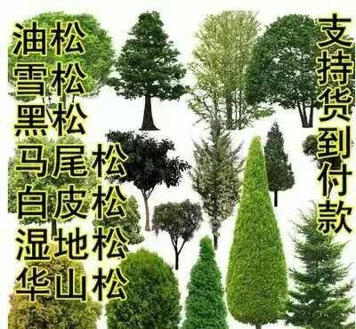灌云县雪松种子 发芽率高,拒绝陈种