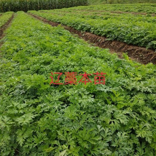 清原满族自治县藁本 单棵价格0.06
