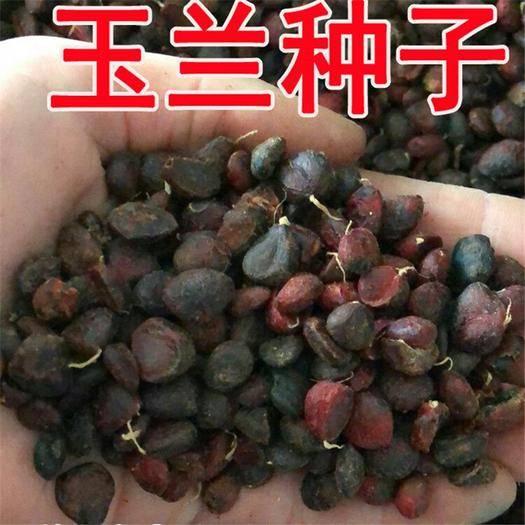 宿迁沭阳县玉兰种子 白玉兰紫玉兰广玉兰黄玉兰树种子