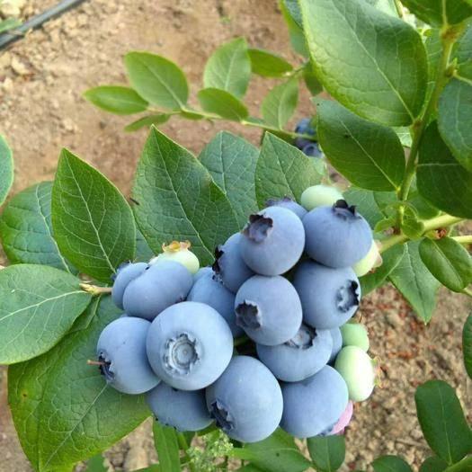 大連莊河市 北陸 藍豐 藍莓