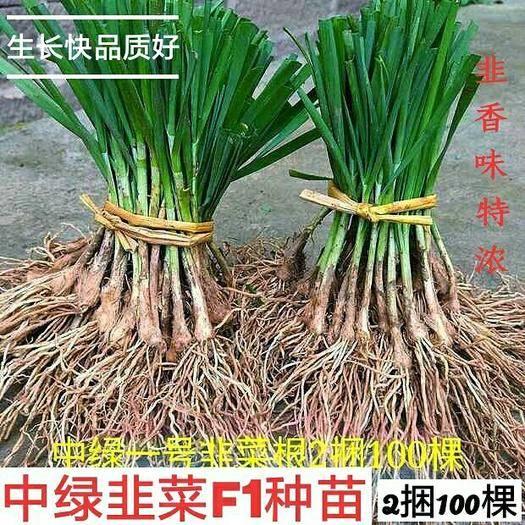 临沂平邑县韭菜根 二茬 35~40cm