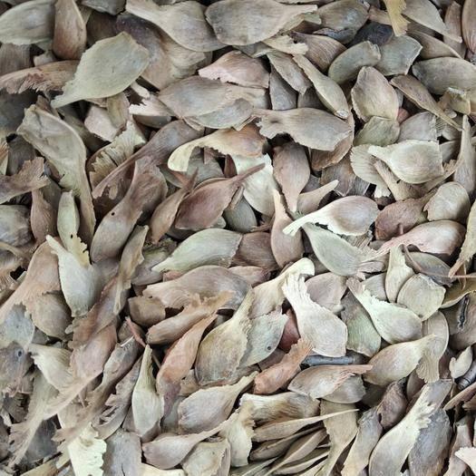 运城绛县五角枫种子