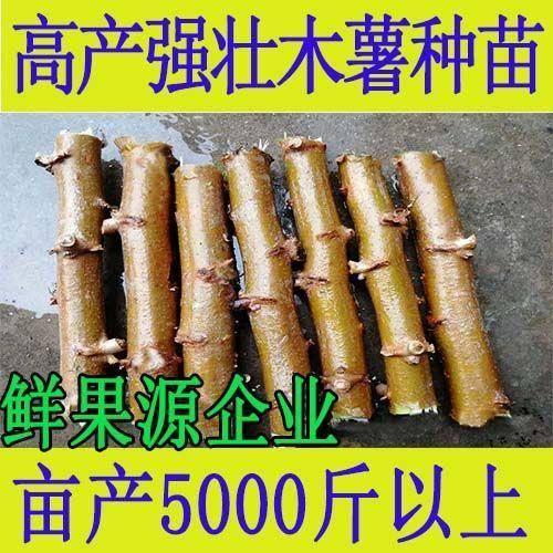 玉林容縣 木薯種子種苗木薯桿莖根0.5元一顆,3000棵起包郵