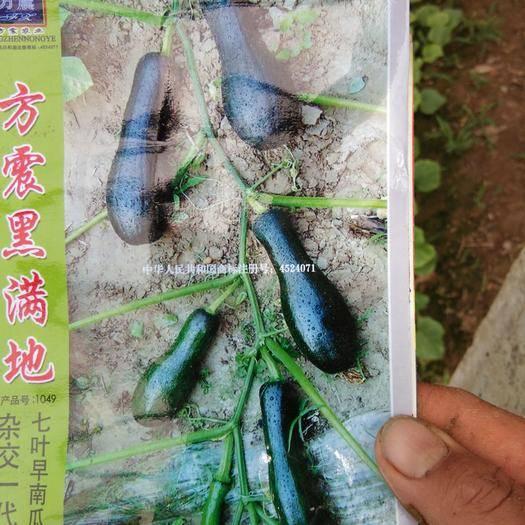 丰县七叶早南瓜 2~4斤